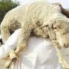 خاروف امريكي .. وجزار عربي – بقلم : وليد رباح